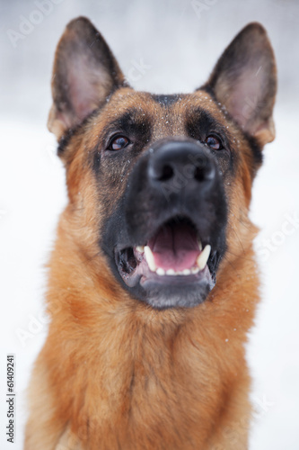 Shepherd breed dog sitting outdoors in winter