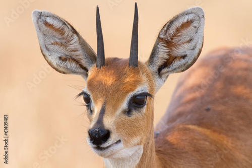 Close-up of steenbok ram head with beautiful harns detail