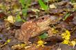 rospo comune (Bufo bufo)