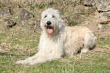Amazing Irish Wolfhound lying in the stone garden
