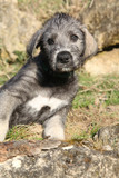 Nice Irish Wolfhound puppy looking at you