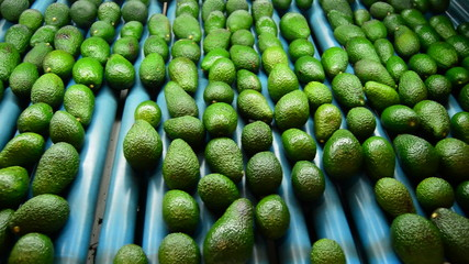 Avocados in packaging line