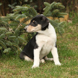 Adorable puppy of Collie Smooth in the garden