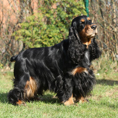 Beautiful English Cocker Spaniel in the garden