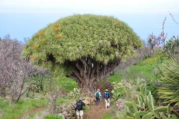 Drachenbaum auf der Insel La Palma / Kanaren