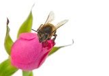 bee and pink rose isolated