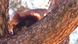 Red squirrel eating pine cones