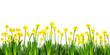 Osterglocken vor weißem Hintergrund