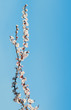 background branch with flowers of cherry against the blue sky