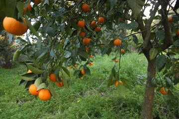 Albero di arance vaniglia