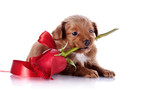 Puppy with a red bow and a rose.