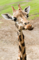 Funny giraffe in close view