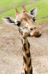 Funny giraffe in close view