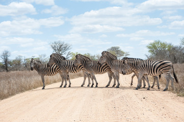 Zebra crossing road, Kruger National Park, South Africa