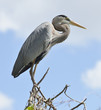 Great Blue Heron Perching