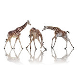 Giraffes  Isolated On White Background