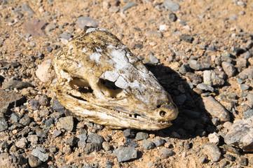 Canarian Dry Lizard Skull