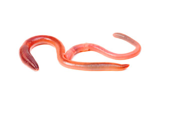 two animal earth worm isolated on white background