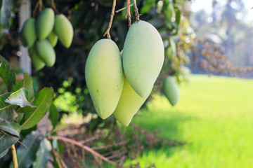 Mango on mango tree