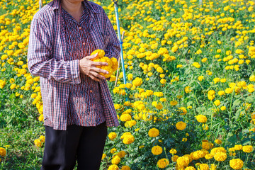 Farmers works in the flower - marigold field