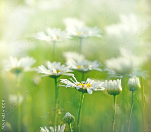 Spring daisy - Daisy in a meadow
