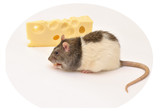 Nice rat like a delicious cheese