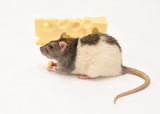 rat and cheese,