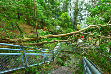Tree collapse after typhoon