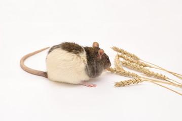 rat and grain