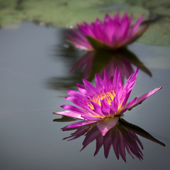 lotus flower on the water and beautiful drop