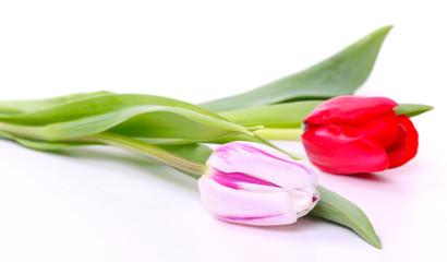 Grußkarte, zwei Tulpen auf weißem Hintergrund