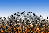 silhouette of many birds on a treetop at sunset