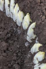Harvesting endives/chicorei