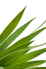 feuilles de yucca