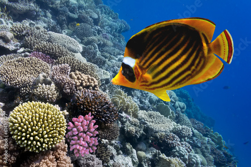 Red Sea raccoon butterflyfish (Chaetodon fascinatus)