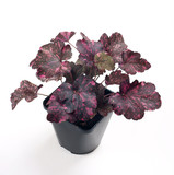 Heuchera Midnight Rose in a pot