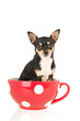 Chihuahua in red cup