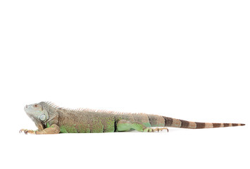 Isolated iguana