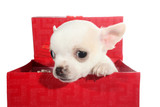 White chihuahua puppy small dog peeps from gift box
