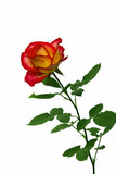 Bright flower red and yellow roses isolated