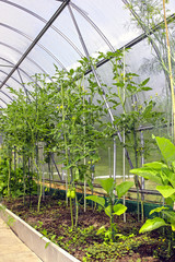 Young tomato plants in vegetable greenhouses