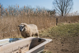 Thirsty sheep looks in an empty bathtub