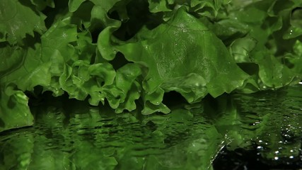 Fresh lettuce whith water drops close-up, revolving turntable