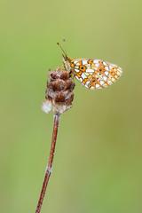 Small Pearl-bordered Fritillary - Boloria selene