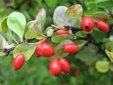 Cultivar Chaenomeles speciosa (Rosaceae) ripe fruit  poster