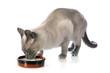 drinking Siamese Cat