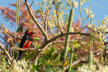 Bearded Barbet in Moringa tree