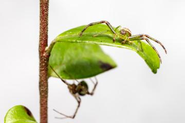 The Green Crab Spider, Diaea dorsata