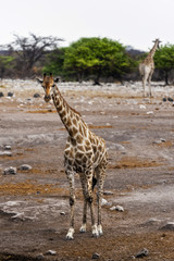 Giraffen am Wasserloch, Etosha Nationalpark