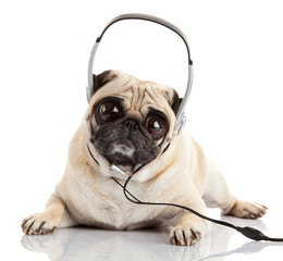 dog listening to music.  Pug Dog with big eyes isolated on White